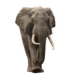 Acercamiento del elefante aislado Imagenes de archivo