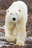 Acercamiento del oso polar imágenes de archivo libres de regalías