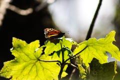 Acercamiento hermoso de una mariposa de monarca colorida imágenes de archivo libres de regalías