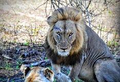 Acercamientos marcados con una cicatriz del león Foto de archivo