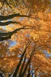 Aceri in autunno Fotografie Stock