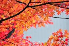 Aceri giapponesi (acer palmatum) Immagine Stock