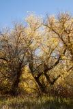 Aceri negundi nei colori di caduta Fotografia Stock Libera da Diritti