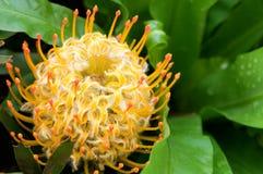 Acerico floreciente amarillo del protea Fotos de archivo libres de regalías