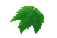 Acerifolia del Platanus Foto de archivo libre de regalías