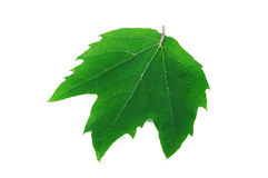 Acerifolia van Platanus Royalty-vrije Stock Foto