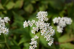 Aceriphyllum rossii. Also known as Maple leaf or Mukdenia rossii, is a herbaceous plant with palmate leaves and the flowers are white, borne in spring Royalty Free Stock Photo