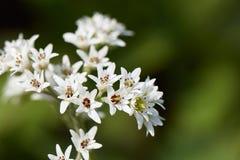 Aceriphyllumrossii Royalty-vrije Stock Foto