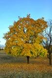 Acero in autunno Immagine Stock