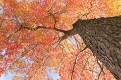 Acero di autunno Immagine Stock Libera da Diritti