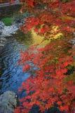 Acero di autunno Fotografie Stock