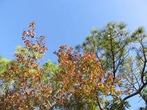 Acero e pino Fotografia Stock