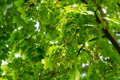 acero Fogliame dell'albero in primavera, giorno soleggiato luminoso immagini stock