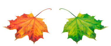 Acero-foglie arancio e verdi di autunno Immagini Stock