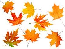 Acero-foglio di autunno Fotografie Stock