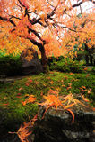 Acero giapponese Fotografie Stock