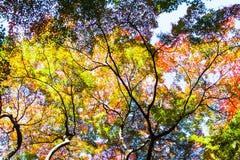 Acero giapponese Fotografia Stock Libera da Diritti