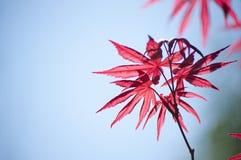 Acero giapponese di Haina (acer palmatum) Immagine Stock