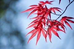 Acero giapponese di Haina (acer palmatum) Fotografie Stock