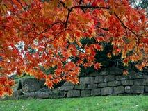 Acero giapponese (palmatum di Acer) Immagini Stock