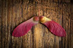 Acero giapponese rosso Fotografia Stock