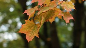 Acero nella foresta di autunno nei raggi del tramonto stock footage