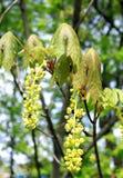 Acero (platanoides di Acer) fotografie stock libere da diritti