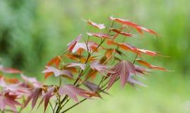 Acero rosso Immagine Stock