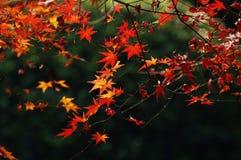 Acero rosso in autunno Fotografia Stock