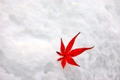Acero rosso della neve Fotografia Stock