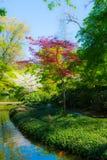 Acero rosso e Cherry Blossom giapponesi Immagini Stock Libere da Diritti