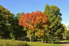 Acero rosso in parco del convento di Novodevichy Mosca, Russia fotografia stock