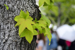 Acero verde Fotografia Stock