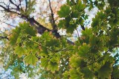Acero verde del canadese della foglia Fotografie Stock Libere da Diritti