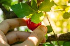 /Acerola樱桃-在树的金虎尾小樱桃果子的金虎尾关闭 金虎尾樱桃是高维生素C和抗氧化果子 免版税库存图片