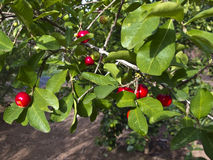Acerola. Malpighia glabra - tropical fruit, rich in vitamin C Royalty Free Stock Image