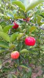 Acerola photos stock