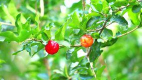 Acerola cherry has contains vitamin A, beta carotene, lycopene and carotene and very high levels of natural vitamin mor
