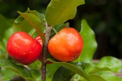 Acerola cherry of thailand on wood. Select focus, Barbados cherr. Y, Malpighia emarginata, high vitamin Stock Photography