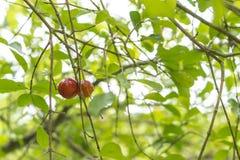 Acerola drzewo z gałąź i owoc zdjęcia royalty free