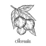 Acerola fruit, barbados cherry. Superfood organic american berry. Hand drawn vector sketch engraved illustration. Black acerola is. Acerola fruit, barbados Stock Photography