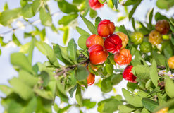 Acerola Royalty Free Stock Images