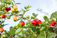 Acerola Royalty Free Stock Photography