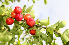 Acerola fruit Royalty Free Stock Photo