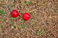 Acerola owoc na ziemi Obrazy Royalty Free