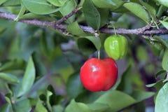Acerolabaum mit Früchten Stockbild