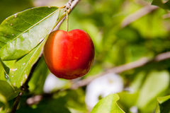 Acerolafrucht Stockfotos