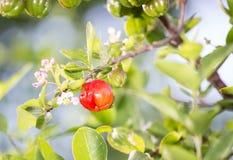 Acerolafrucht Lizenzfreies Stockbild