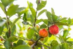 Acerolafrucht Lizenzfreie Stockfotos