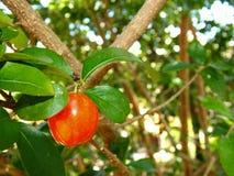 Acerolafrucht auf dem Baum für eine gesunde Diät Lizenzfreie Stockfotos